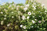 2013-08-16 - 9601 Tuin - Hibiscus & Clematis