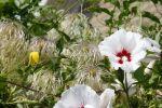 2013-08-16 - 9621 Tuin - Hibiscus & Clematis